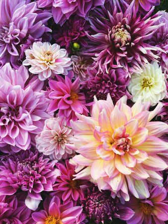 Many beautiful blooming dahlia flowers, floral summer texture for background. Colorful dahlias in full bloom
