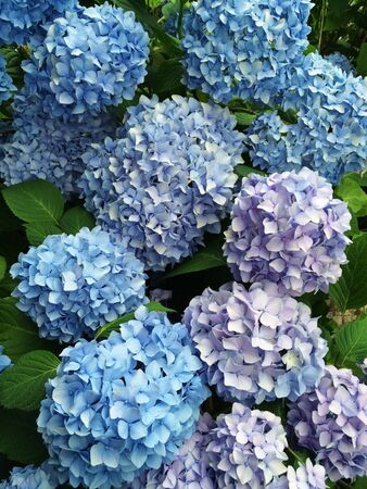 Beautiful pastel blue hydrangea flowers blooming in the garden. Floral background Stock Photo