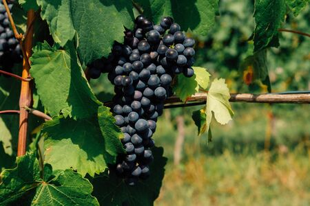 Douce noir grapes growing in italian vineyards. Beautiful blue grape cluster with green leaves, close up. Copy space