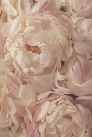 Beautiful fresh delicate pastel pink peony flowers in bloom, close up. Floral texture for background. Still life with blooming peonies.