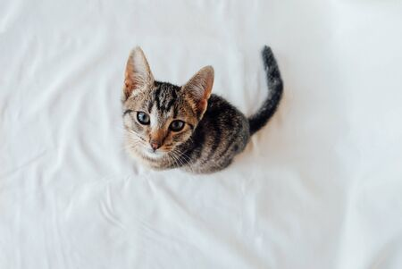 Young European Shorthair cat sitting on white background, top view. Space for text. Mackerel tabby coat color. Cute little kitten looking at you. Stock Photo