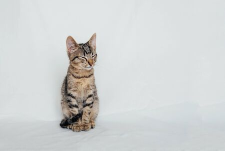 Young European Shorthair cat sitting on white background. Space for text. Mackerel tabby coat color. Cute little sleeping kitten. Foto de archivo