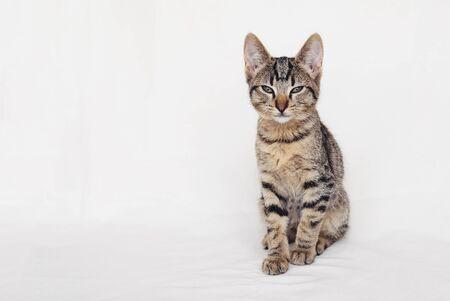 Hermoso joven gato europeo de pelo corto sentado sobre fondo blanco.
