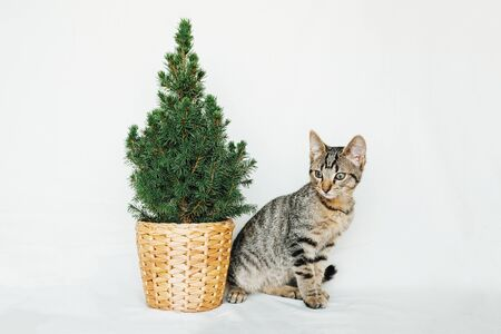 Cute young European Shorthair cat sitting next to little Christmas tree on white background. Copy space. Beautiful Mackerel tabby kitten. New year postcard. Winter holidays concept. Stock Photo
