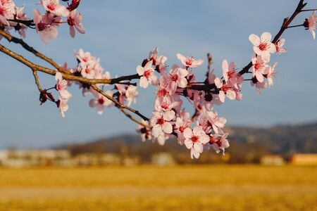Beautiful pnk plum blossom flowers in spring.