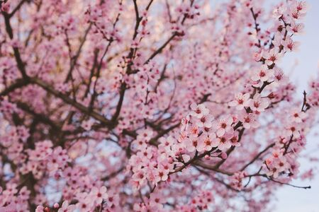 Beautiful pink plum blossom flowers in spring.