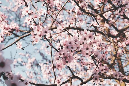 Beautiful pink flowering tree, close up. Floral spring background with cherry blossoms. Copy space.
