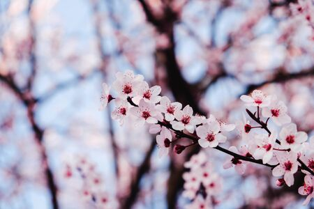 Beautiful pink flowering tree, close up. Floral spring background with cherry blossoms. Space for text.