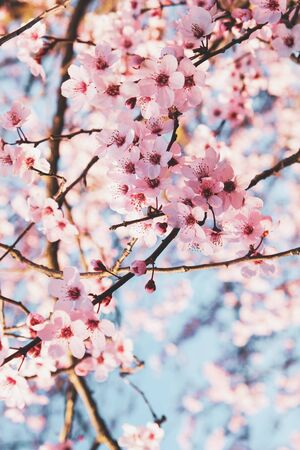 Beautiful tree branch with spring blossoms, close up. Floral pattern for background. Pink flowers in bloom. Springtime.