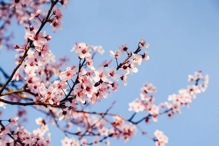 Beautiful blooming pink spring flowers, close up. Copy space. Springtime and Easter concept. Plum trees in bloom.