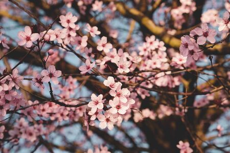 Beautiful branch of pink spring blossoms, close up. Floral pattern. Blooming plum tree. Springtime and Easter concept.