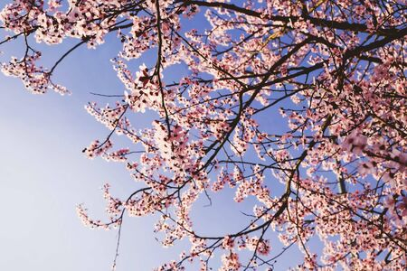 Beautiful fresh pink spring blossoms against blue sky. Plum trees in bloom, springtime. Banco de Imagens