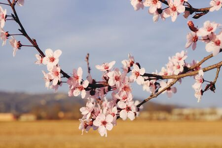 Beautiful branch of almond tree blossoms in spring, close up. Copy space. Pink flowers in bloom.