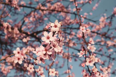 Plum trees with pink flowers in bloom in a sunny day.
