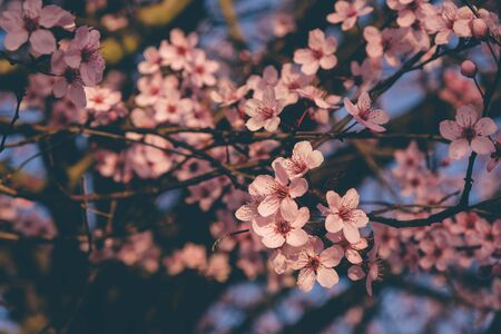 Beautiful spring tree branch with pink blossoms, close up. 版權商用圖片