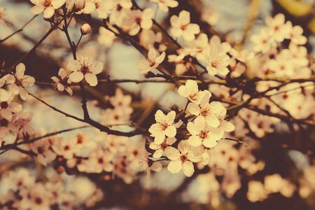 Beautiful spring tree branch with blossoms. Plum trees in bloom. Banco de Imagens