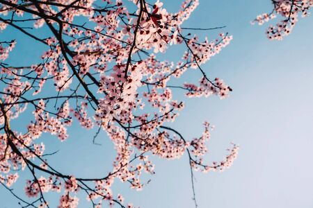 Beautiful pink cherry tree blossoms. Flowers in bloom, springtime.