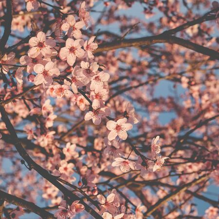 Beautiful spring tree with fresh pink blossoms. Plum flowers in bloom.