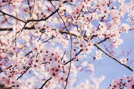 Plum trees with fresh pastel pink flowers in bloom, close up. Banco de Imagens