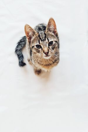Young European Shorthair cat with kinked tail sitting on white background. Banco de Imagens