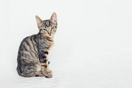 Hermoso joven gato europeo de pelo corto sentado sobre fondo blanco. Espacio para texto. Color de pelaje atigrado de caballa. Lindo gatito soñoliento mirándote.