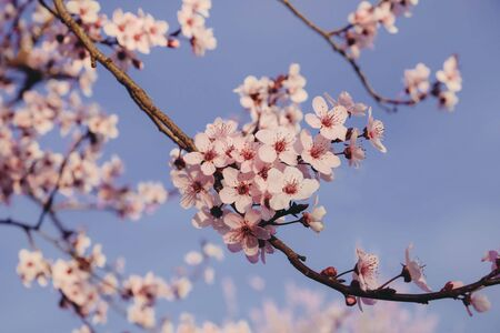Beautiful flowering branch with pink blossoms, close up. Floral spring background with cherry tree. Copy space.