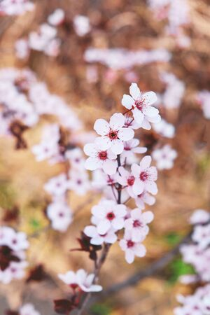 Beautiful tree branch with spring blossoms, close up. Floral pattern for background. Pink flowers in bloom. Springtime. Foto de archivo - 137895723