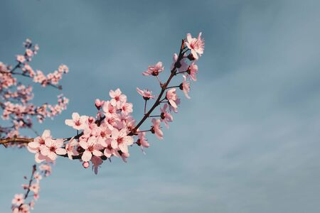 Beautiful branch with pink cherry blossoms, close up. Flowers in bloom, springtime. Spring floral background. Space for text. Banco de Imagens