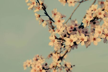 Beautiful tree branch with spring blossoms, close up. Plum trees in bloom. Floral background, springtime. Vintage style photo.
