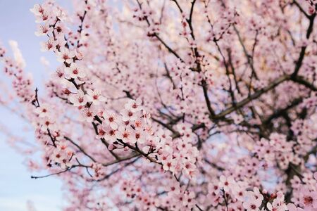 Beautiful pink cherry tree blossoms. Flowers in bloom, springtime. Spring floral background. Foto de archivo - 137895535