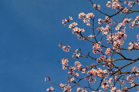 Beautiful cherry tree blossoms and blue sky, sunny day. Pink flowers in bloom, springtime. Spring floral background. Space for text.