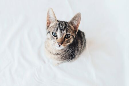 Young European Shorthair cat sitting on white background, top view. Space for text. Mackerel tabby coat color. Cute little kitten looking at you. Stok Fotoğraf