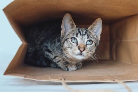 Young European Shorthair cat playing and hiding in a paper bag. Mackerel tabby coat color. Cute little playful kitten. Copy space.