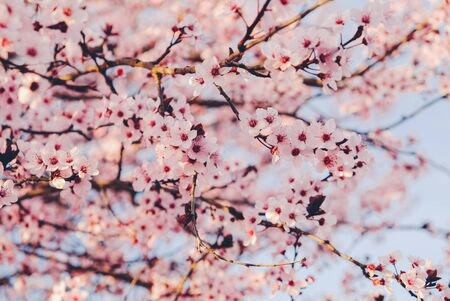 Beautiful pink flowering trees. Floral spring background with cherry blossoms. Copy space. Banco de Imagens