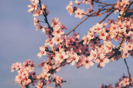 Beautiful spring tree blossoms, close up. Plum trees with pink flowers in bloom in a sunny day. Floral background.