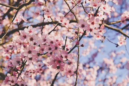 Beautiful flowery spring background with cherry blossoms. Pink flowers in full bloom, close up. Springtime, sunny day. Banco de Imagens