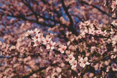 Beautiful branch with pink spring blossoms, close up. Blooming flowers, springtime, golden hour. Floral background. Banco de Imagens