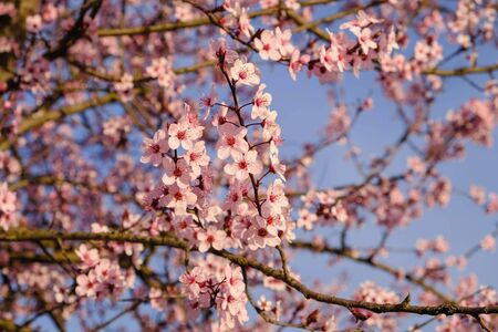 Beautiful flowery spring background with cherry blossoms. Pink flowers in full bloom, close up. Springtime, sunny day. 版權商用圖片