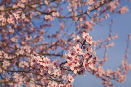 Beautiful plum blossoms in spring. Tree branch with fresh pastel pink flowers in bloom, close up. Floral background. Springtime. Reklamní fotografie