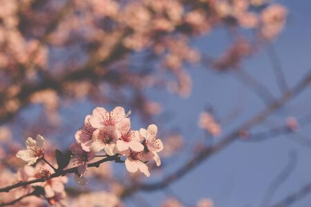 Beautiful spring blossoms. Plum trees with fresh pastel pink flowers in bloom.