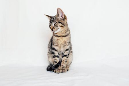 Young European Shorthair cat sitting on white background. Mackerel tabby coat color. Cute little sleepy kitten. Space for text Foto de archivo