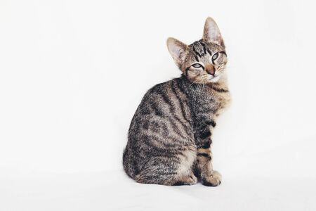 Young European Shorthair cat sitting on white background. Copy space. Mackerel tabby coat color. Cute little kitten looking at you.