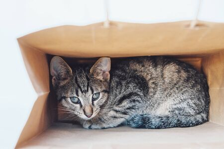 Young European Shorthair cat playing and hiding in a paper bag. Mackerel tabby coat color. Cute little playful kitten. Stock Photo