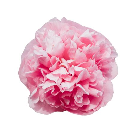 Beautiful fresh pink peony flower in full bloom isolated on white background.