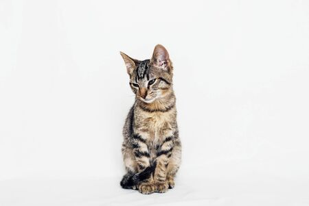 Beautiful young European Shorthair cat sitting on white background. Space for text. Mackerel tabby coat colour. Cute little sleepy kitten.