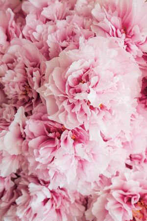Heap of fresh beautiful pink and white peony flowers in full bloom, close up, top view. Flowery summer texture for background. Spring blossoms.