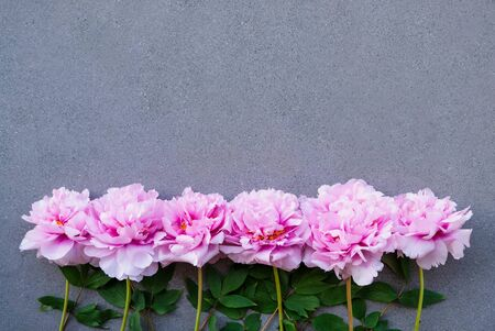 Beautiful pink peony flowers in full bloom on grey concrete background. Banque d'images