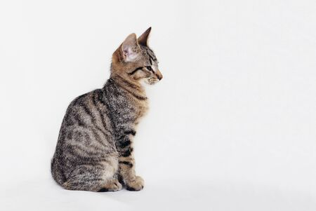 Beautiful young European Shorthair cat sitting on white background. Space for text. Mackerel tabby coat colour. Cute little sleepy kitten looking at you.