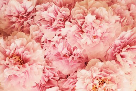 Fresh beautiful pink and white peony flowers in full bloom.