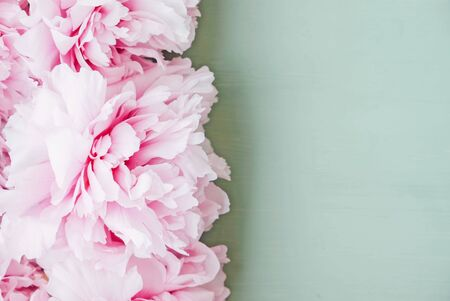 Heap of fresh beautiful pastel pink peony flowers in full bloom on mint green background, close up, top view. Space for text. Flat-lay. Spring blossoms. Mother's day or Birthday postcard.